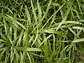 Homalocladium platycladum 02 ies.jpg