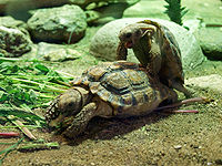 Homopus signatus-Prague Zoo.jpg