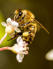 Honey bee on flower with pollen collected on rear leg.jpg