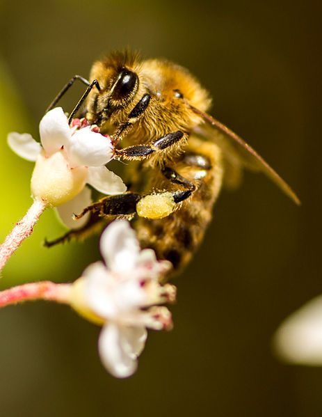 File:Honey bee on flower with pollen collected on rear leg.jpg