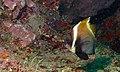 Horned Bannerfish (Heniochus varius) (8508109382).jpg