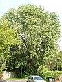 Horse chestnut tree in flower, Abbey Green, Chertsey - geograph.org.uk - 165889.jpg