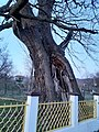 Hrast lužnjak Lješnica, Opština Kučevo.jpg