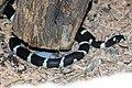 Hul - Lampropeltis getula californiae 2.jpg
