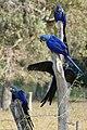 Hyacinth Macaws (Anodorhynchus hyacinthinus) (28158519405).jpg