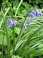 Hyacinthoides ×massartiana03.jpg