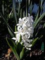 Hyacinthus orientalis by Danny S. - 001.jpg