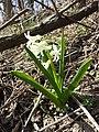 Hyacinthus orientalis sl1.jpg