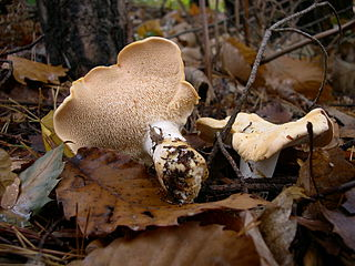 Hydnoid fungi