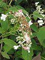 Hydrangea heteromalla Snowcap - Flickr - peganum (1).jpg