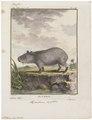 Hydrochoerus capybara - 1700-1880 - Print - Iconographia Zoologica - Special Collections University of Amsterdam - UBA01 IZ20600081.tif