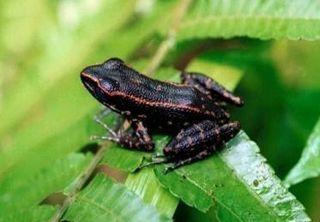 <i>Pulchrana siberu</i> Species of amphibian
