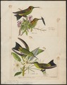 Hylocharis derbyi - 1700-1880 - Print - Iconographia Zoologica - Special Collections University of Amsterdam - UBA01 IZ19100561.tif