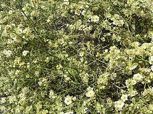 Ambrosia salsola - Image: Hymenoclea salsola close