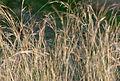 Hyparrhenia hirta 2.jpg