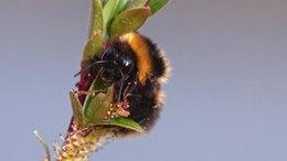 Video van de wilgenhommel (Bombus cryptarum).