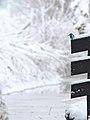 IJsvogel - Alcedo atthis 12.jpg