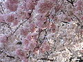 IMG 2329 - Washington DC - Tidal Basin - Cherry Blossoms.JPG