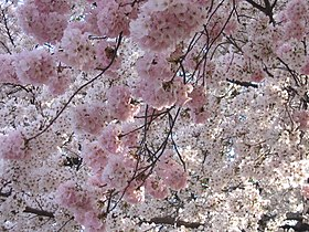 IMG 2329 - Washington DC - Tidal Basin - Cherry Blossoms.JPG
