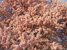 IMG 2388 - Washington DC - Tidal Basin - Cherry Blossoms.JPG