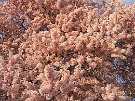 IMG 2388 - Washington DC - Tidal Basin - Cherry Blossoms.JPG