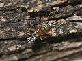 Ichneumon wasp, Gotra' species..jpg