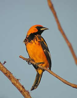 Spot-breasted oriole species of bird