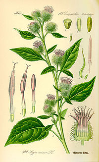 Illustration Arctium minor0.jpg