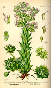 Des vertus des plantes par Macer Floridus, 1832 170px-Illustration_Sempervivum_tectorum0
