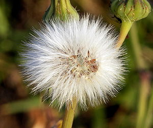 Dandelion clock of genus Crepis or Sonchus