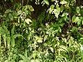 Impatiens gardneriana Wight (30967856751).jpg