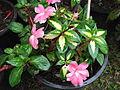 Impatiens linearifolia-yercaud-salem-India.JPG