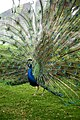 Impressive Peacock at China National GeneBank Dapeng.jpg