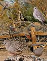 Inca Dove From The Crossley ID Guide Eastern Birds.jpg