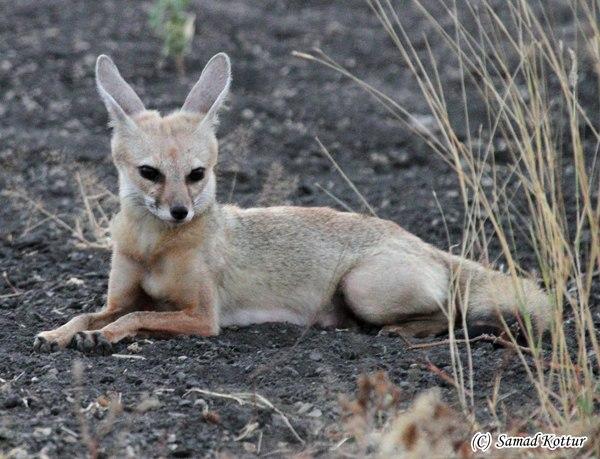 Indian Fox in Siruguppa