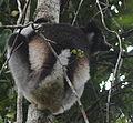 Indri in Andasibe 03.JPG