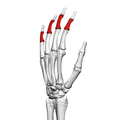 Intermediate phalanges of the hand (left hand) 04 radial view.png