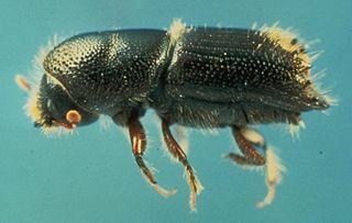 <i>Ips</i> (beetle) Genus of beetles