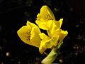 Iris danfordiae 2.JPG