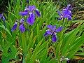 Iris tectorum 001.JPG