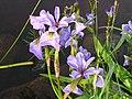 Iris versicolor 8 (5097298161).jpg