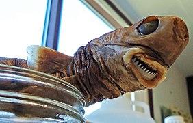 Cookiecutter shark - Wikipedia