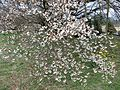 Isshingyo big cherry tree 05.jpg