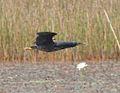 Ixobrychus sturmii, Cuito-rivier, Birding Weto, a.jpg