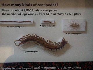 <i>Pachymerium ferrugineum</i> Species of centipede