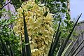 J20170415-0022—Yucca schidigera (34156654656).jpg