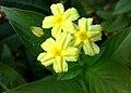 JNU Light Yellow Flowers.jpg