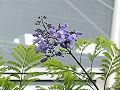 Jacaranda mimosifolia1SHSU.jpg