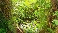 Jacinthe d'eau 1.jpg