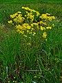 Jacobaea vulgaris 002.JPG